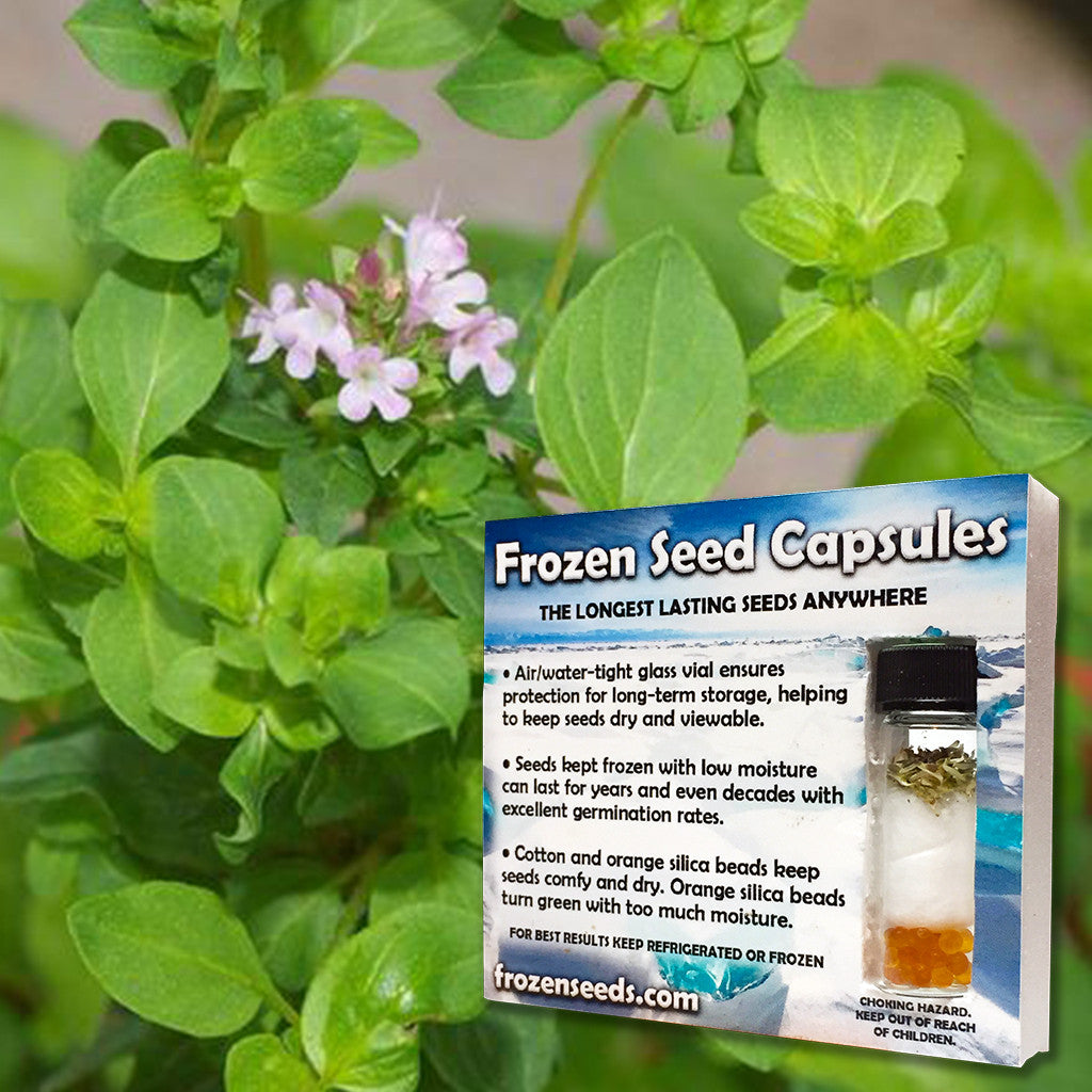 Greek Oregano Seeds (Origanum heracleoticum) + FREE Bonus 6 Variety Seed Pack - a $30 Value!
