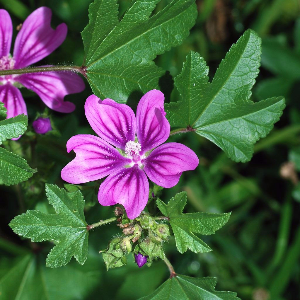 High Mallow Seeds (Malva sylvestris) + FREE Bonus 6 Variety Seed Pack - a $30 Value!