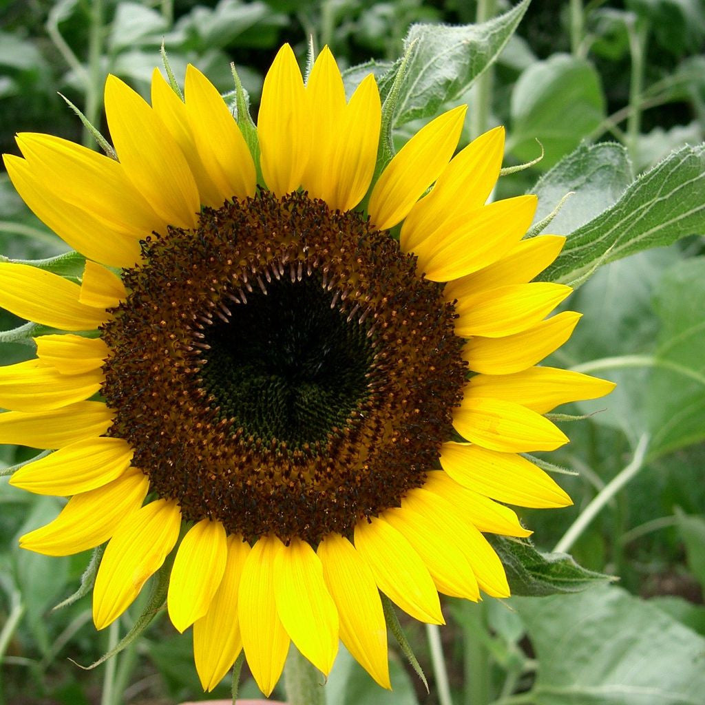 Hopi Black Dye Sunflower Seeds (Helianthus annuus)