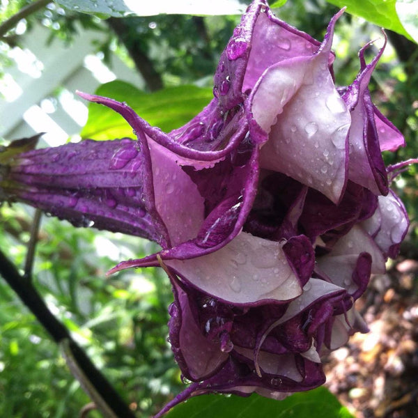 Horn of Plenty Seeds (Datura metel) + FREE Bonus 6 Variety Seed Pack - a $30 Value!