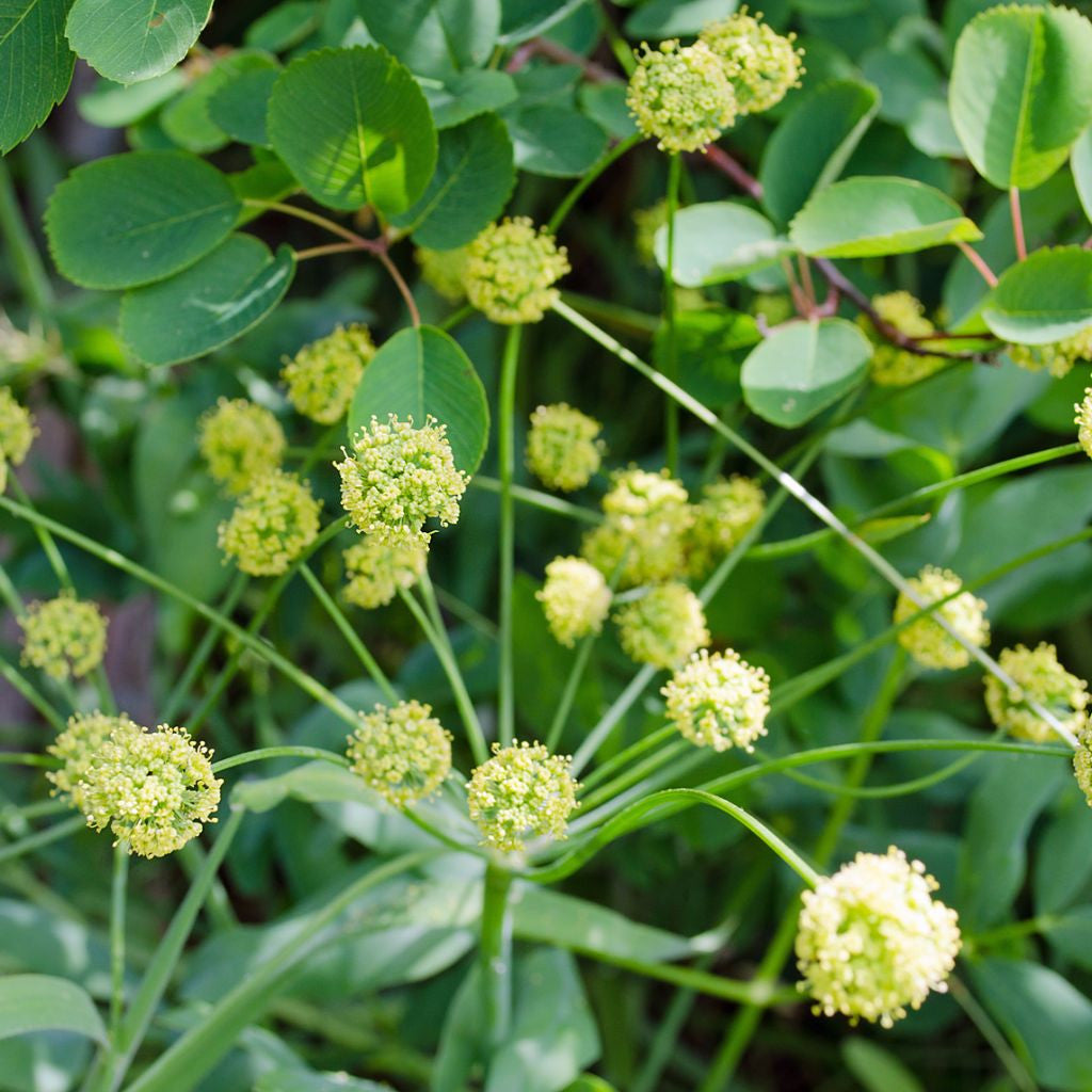 Indian Consumption Plant Seeds (Lomatium dissectum)