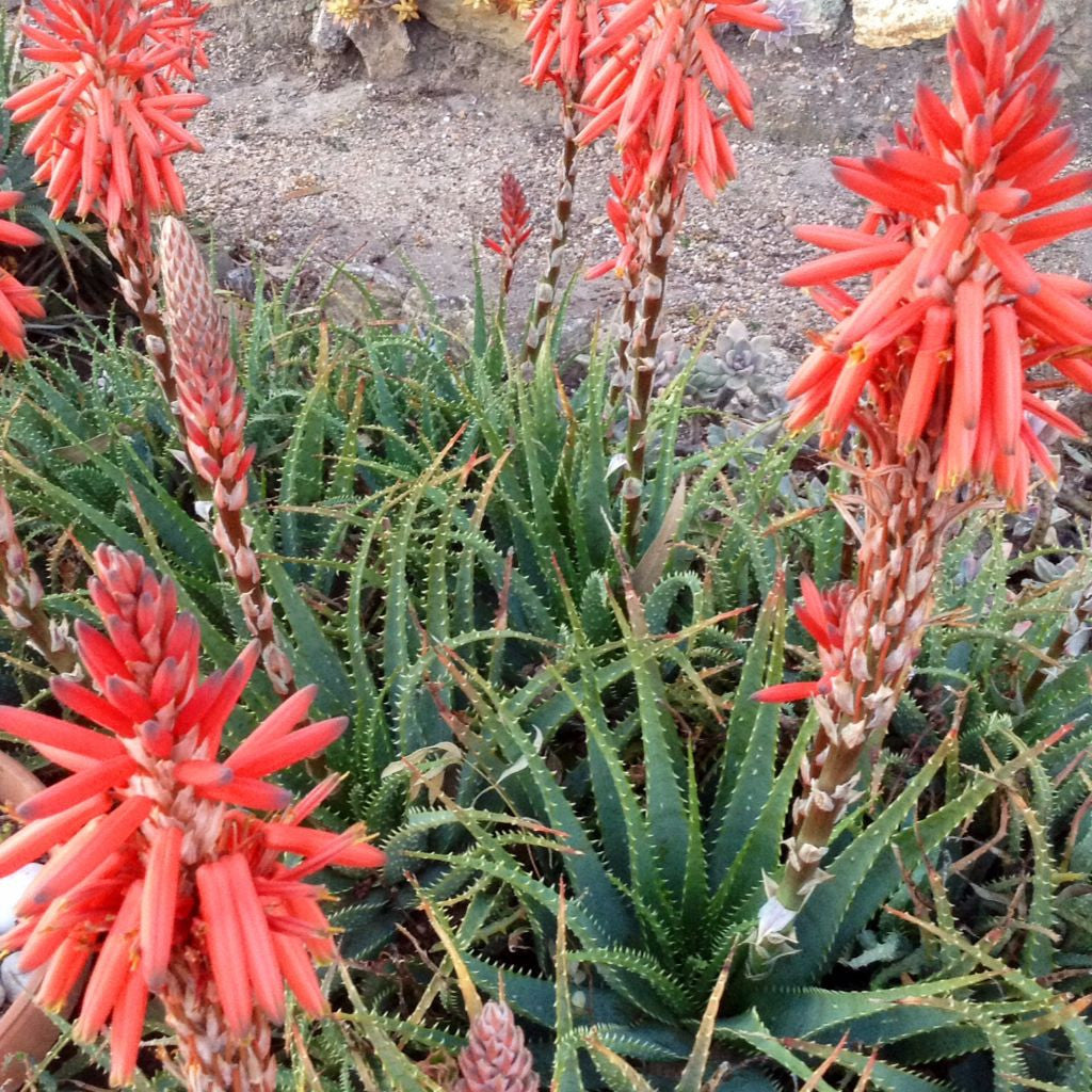 Krantz Aloe Seeds (Aloe arborescens) + FREE Bonus 6 Variety Seed Pack - a $30 Value!