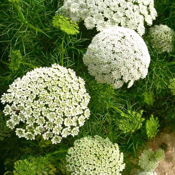 Laceflower Seeds (Ammi majus)