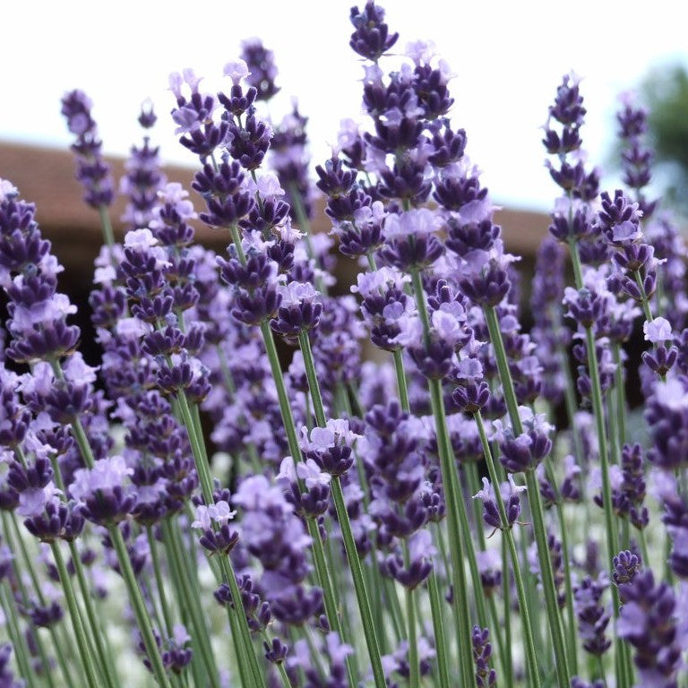 English Lavender Seeds (Lavandula angustifolia vera)