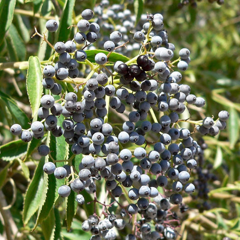 Mexican Elderberry Seeds (Sambucus mexicana)