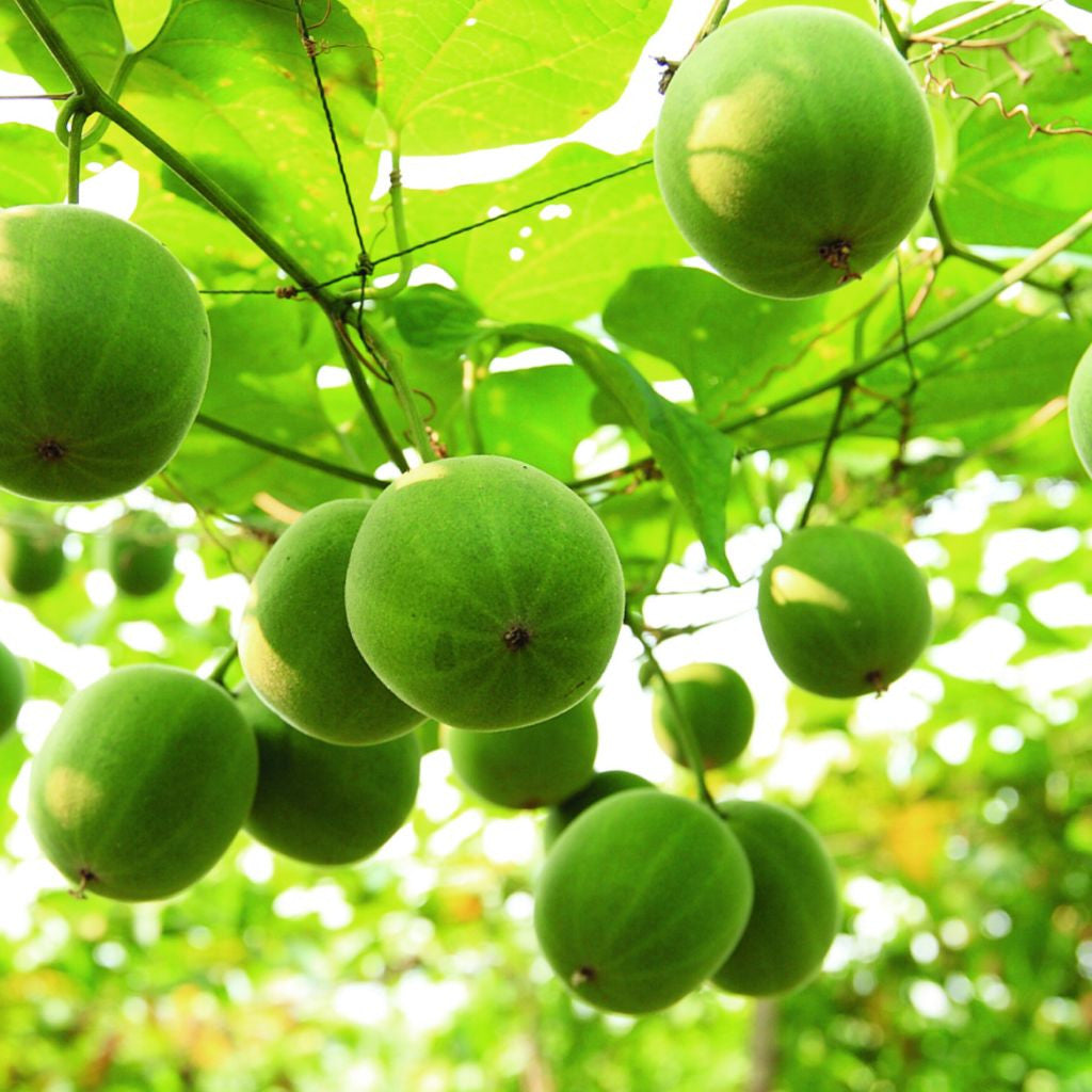 Monksfruit Tree Seeds (Siraitia grosvenorii) + FREE Bonus 6 Variety Seed Pack - a $30 Value!
