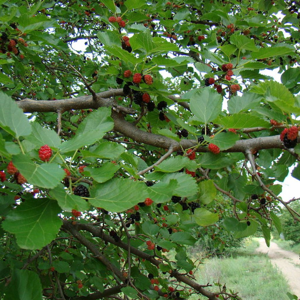 Mulberry Tree Seeds (Morus nigra) + FREE Bonus 6 Variety Seed Pack - a $30 Value!