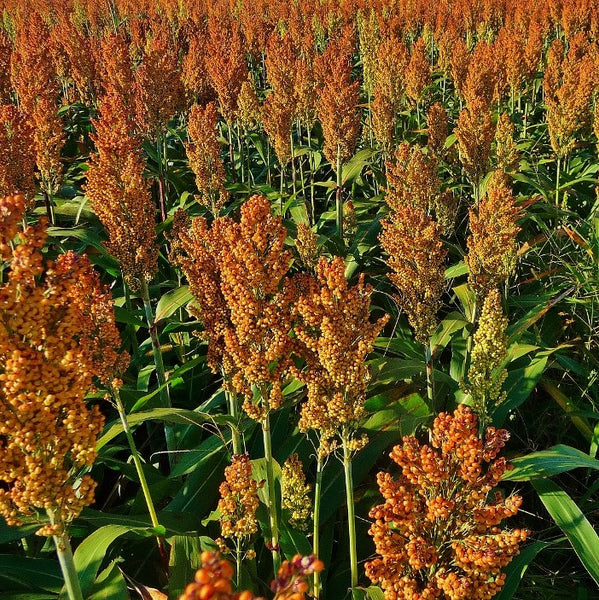Sugar Drip Sorghum Seeds