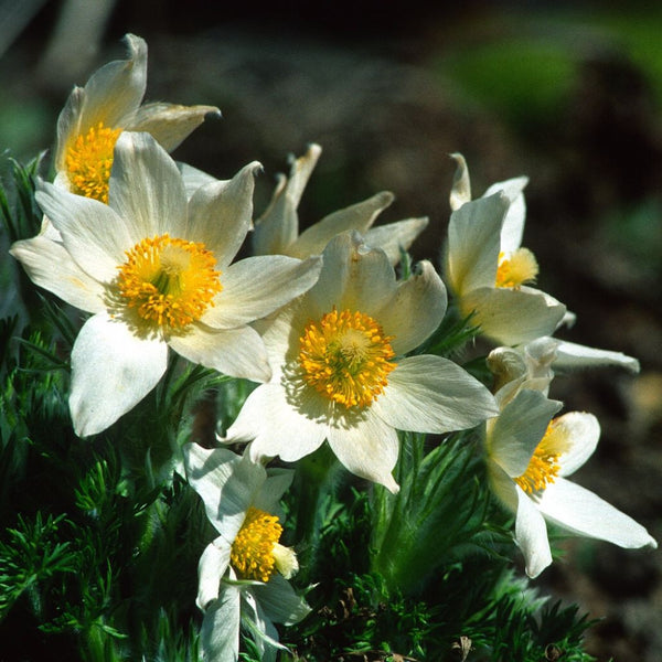 Pasque Flower Seeds (Anemone pulsatilla)