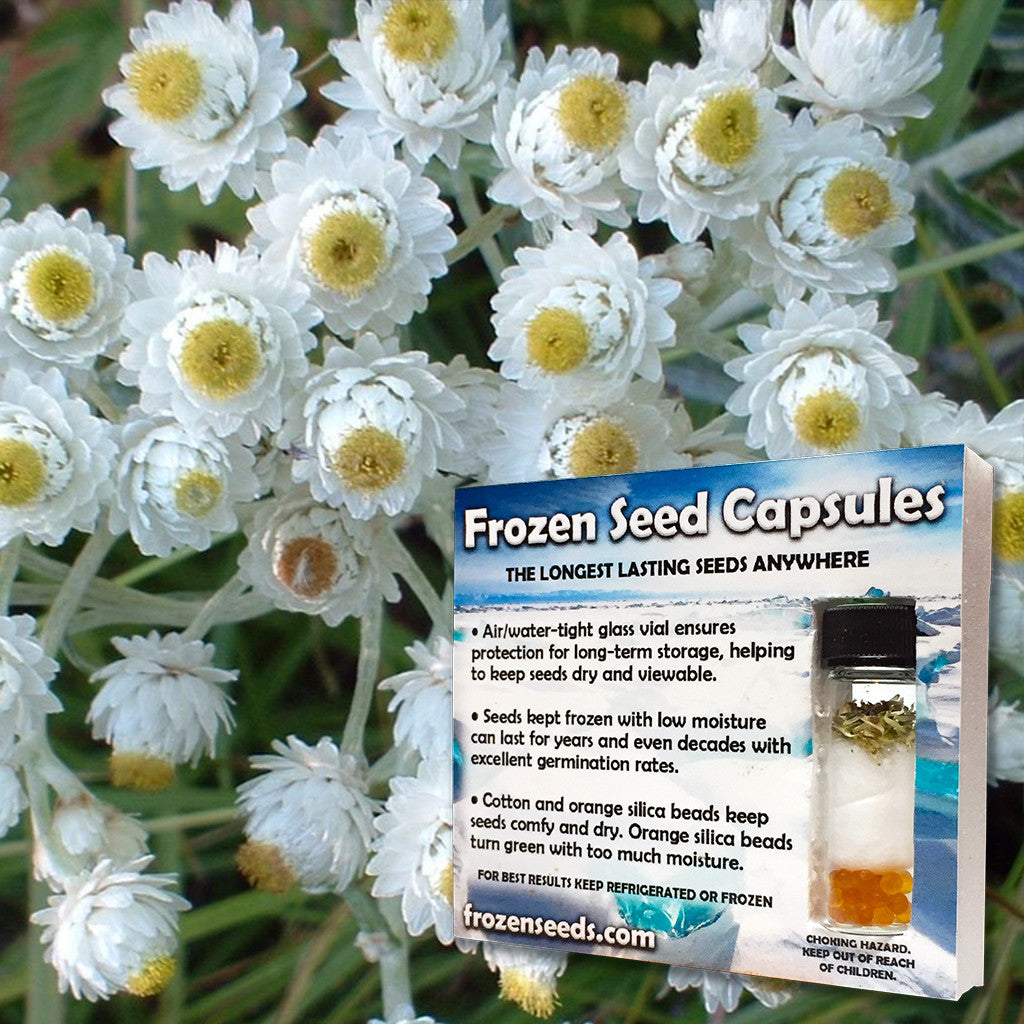 Pearly Everlasting Seeds (Anaphalis margaritacea) + FREE Bonus 6 Variety Seed Pack - a $30 Value!
