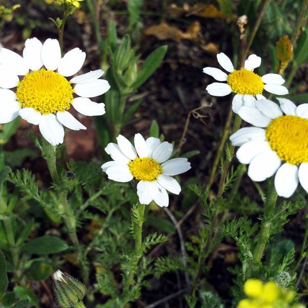Pellitory Seeds (Anacyclus pyrethrum)