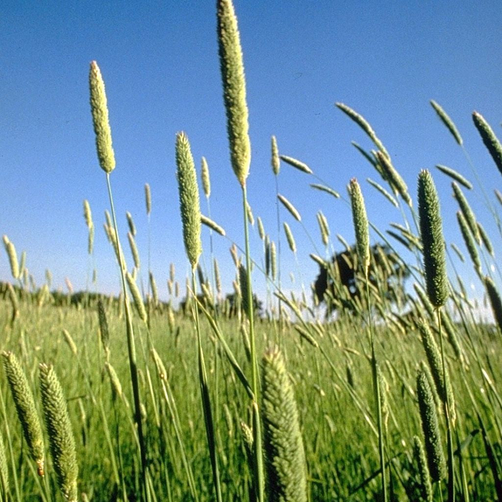 Phalaris Grass Seeds (Phalaris aquatica)