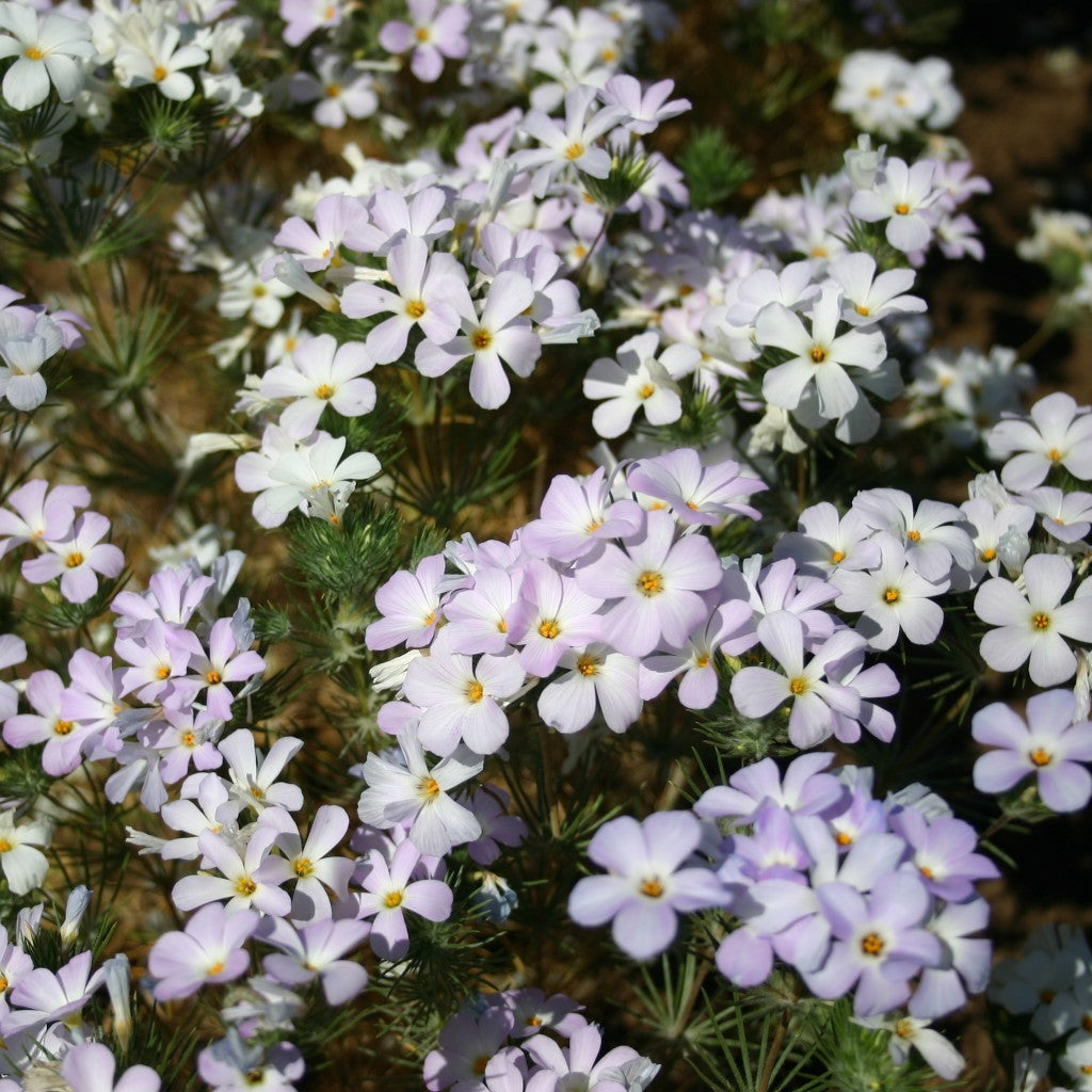 Mountain Phlox Wildflower (Linanthus grandiflorus)  Seeds + FREE Bonus 6 Variety Seed Pack - a $30 Value!
