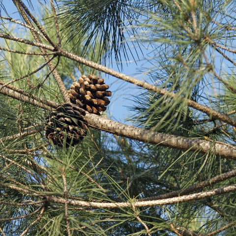 Pine Nut Tree Seeds (Pinus pinea) + FREE Bonus 6 Variety Seed Pack - a $30 Value!