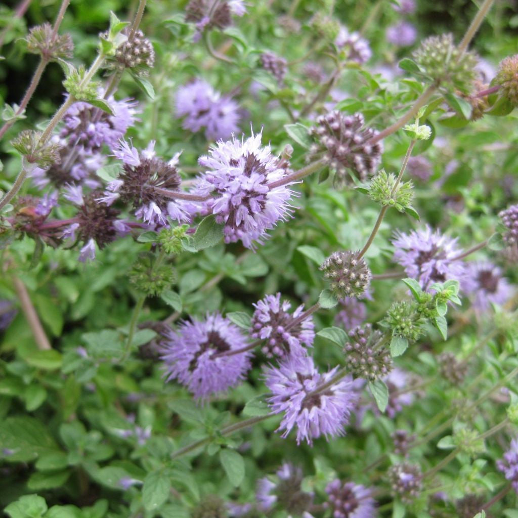 English Pennyroyal Seeds (Mentha pulegium)