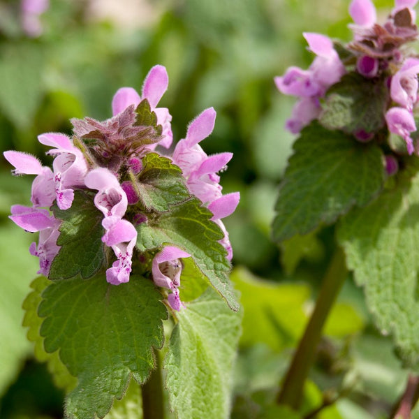 Purple Dead-Nettle Seeds (Lamium purpureum)