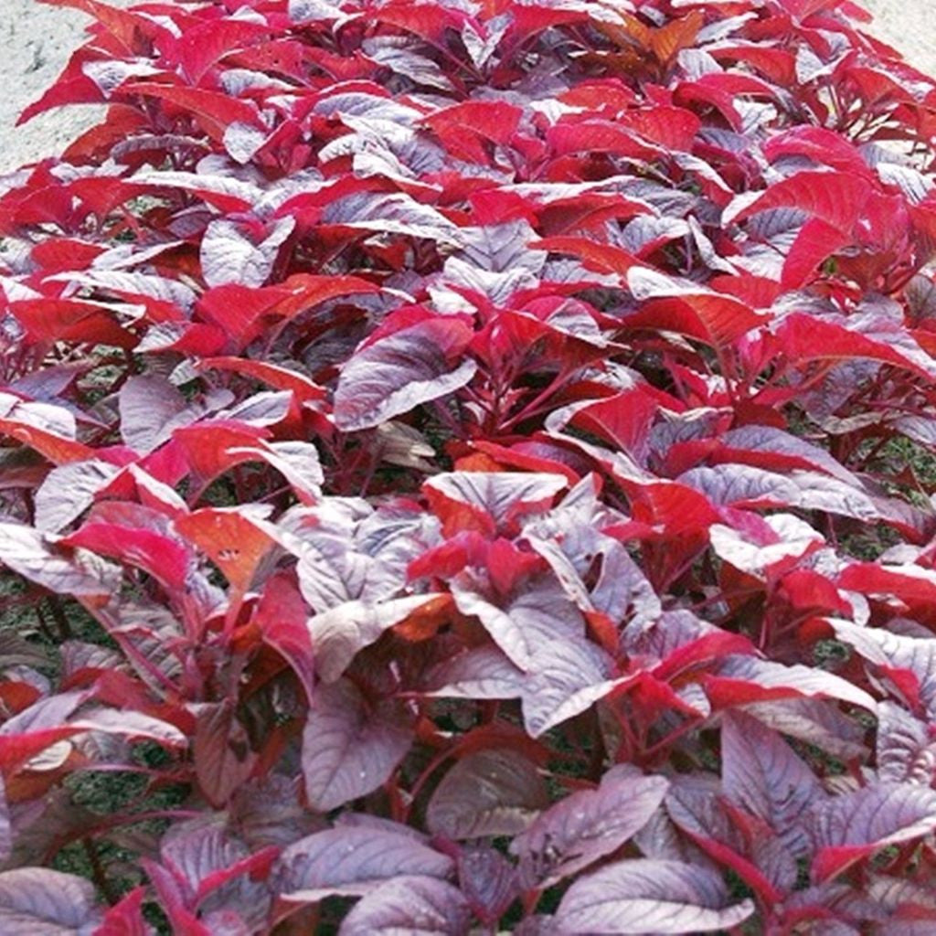 Red Spinach Amaranth Seeds (Amaranthus tricolor) + FREE Bonus 6 Variety Seed Pack - a $30 Value!