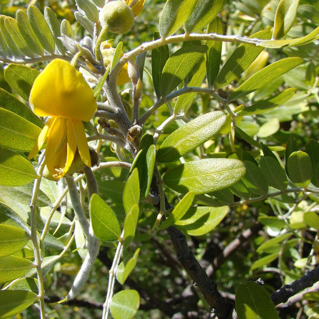 Sophora Seeds (Sophora flavescens) + FREE Bonus 6 Variety Seed Pack - a $30 Value!