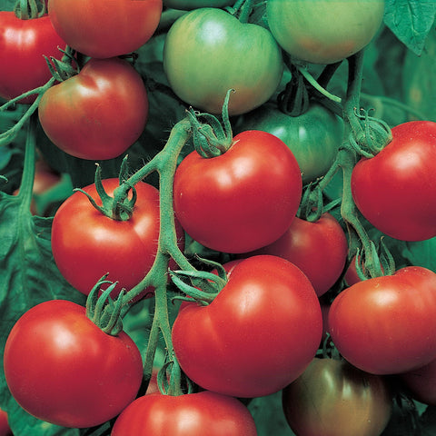 Super Sioux Tomato Seeds