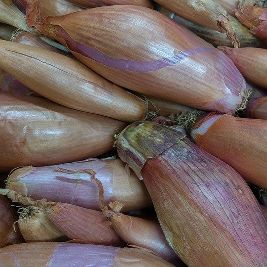 Zebrune Shallot Onion Seeds + FREE Bonus 6 Variety Seed Pack - a $30 Value!