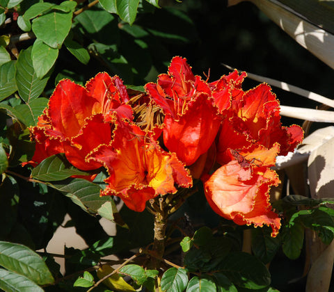 African Tulip Tree Seeds (Spathodea companulata) + FREE Bonus 6 Variety Seed Pack - a $30 Value!