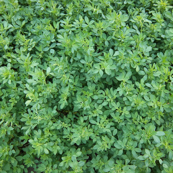 Alfalfa Seeds (Medicago sativa) + FREE Bonus 6 Variety Seed Pack - a $30 Value!
