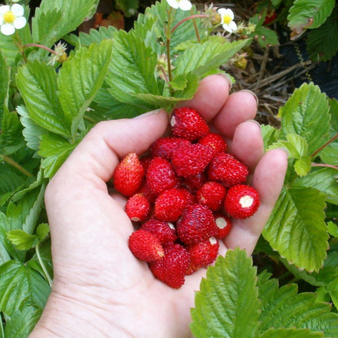 Alpine Strawberry Seeds (Fragaria vesca 'Ruegen')