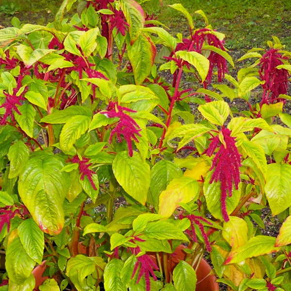 Love-Lies-Bleeding Red Amaranth Seeds (Amaranthus caudatus)