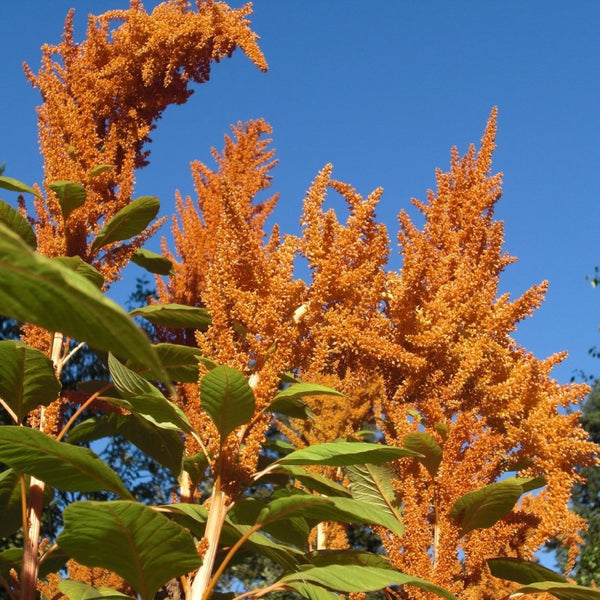 Orange Giant Amaranth Seeds
