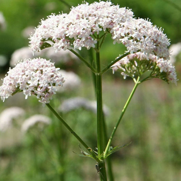 Anthos Valerian Seeds (Valeriana officinalis 'Anthos') + FREE Bonus 6 Variety Seed Pack - a $30 Value!