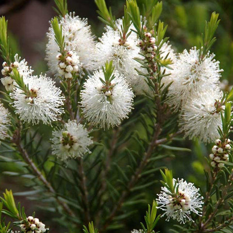 Australian Tea Tree Seeds (Melaleuca alternifolia)