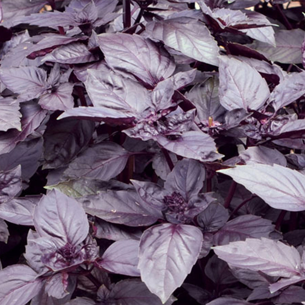 Dark Purple Opal Basil Seeds