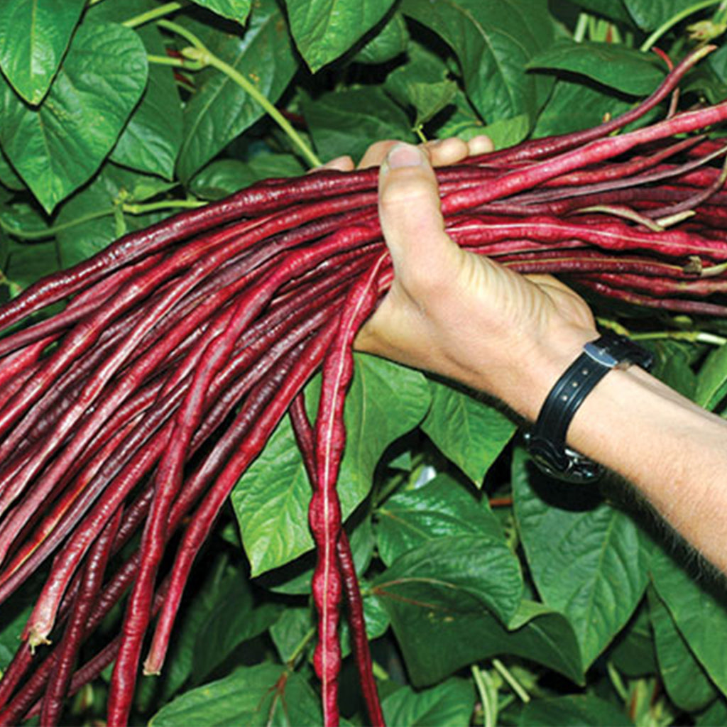 Chinese Red Noodle Long Bean Seeds