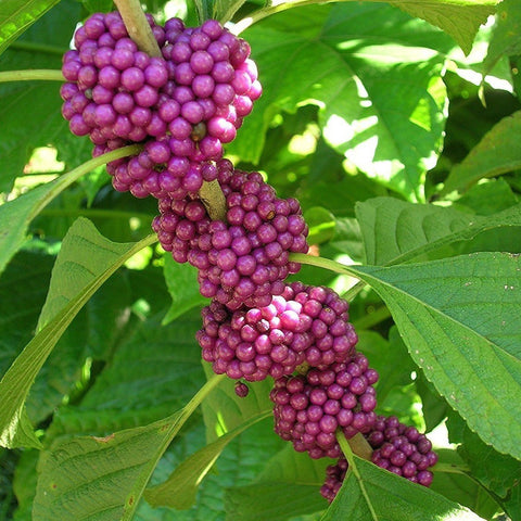 Beautyberry Seeds (Callicarpa americana)