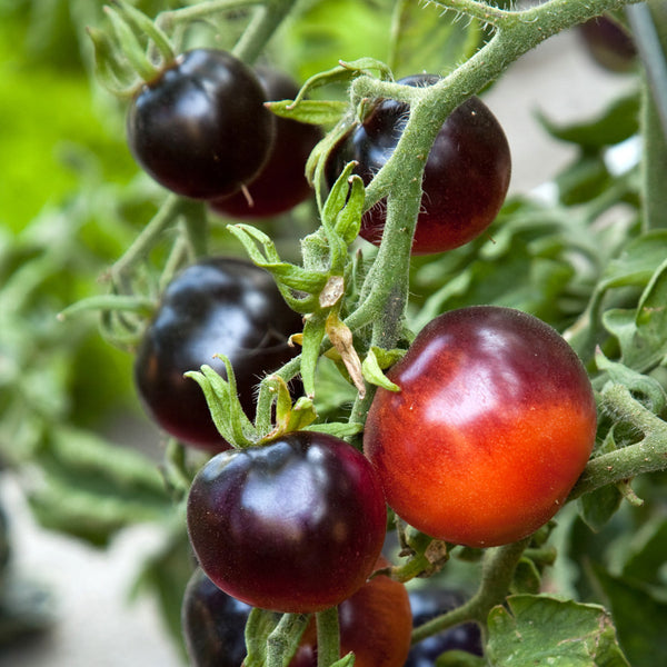 Black Cherry Tomato Seeds (Lycopersicon esculentum)