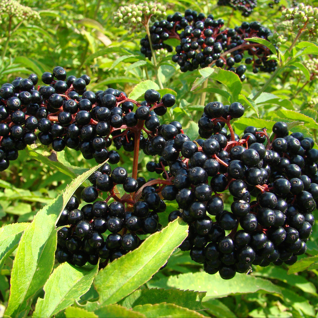 Black Elderberry Seeds (Sambucus nigra)