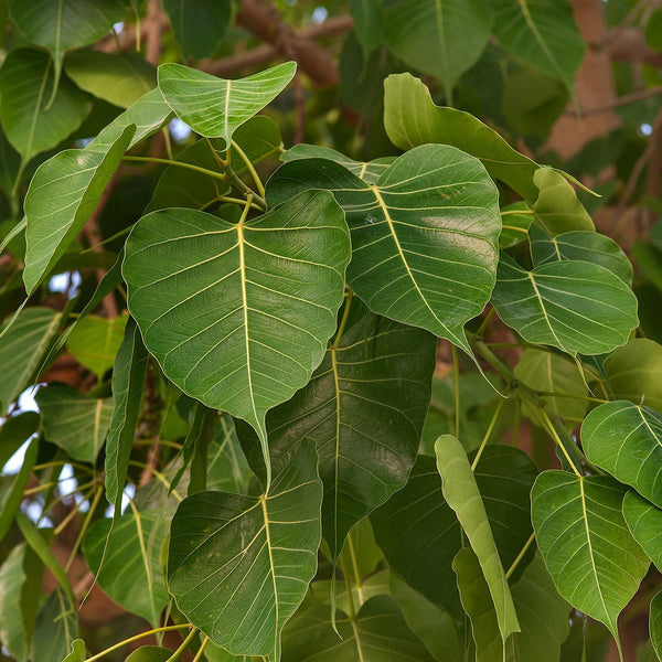 Bo-Tree Seeds (Ficus religiosa)