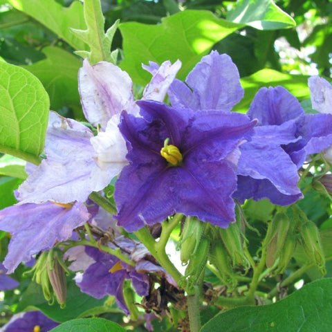 Brazilian Giant Star Potato Tree Seeds (Solanum Macranthum)