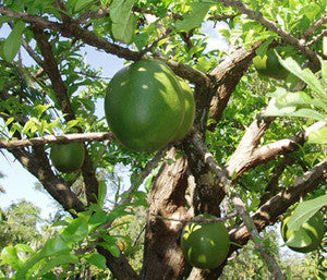 Calabash Tree Seeds (Crescentia cujete) + FREE Bonus 6 Variety Seed Pack - a $30 Value!