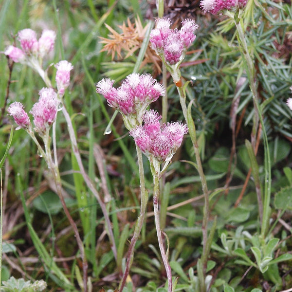 Catsfoot Seeds (Antennaria dioica)