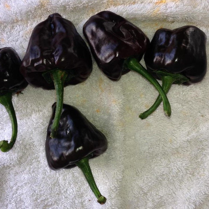 Chilhuacle Negro Pepper Seeds