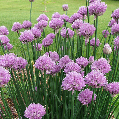 Common Chives Seeds (Allium schoenoprasum)