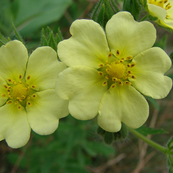 Cinquefoil Seeds (Potentilla recta)