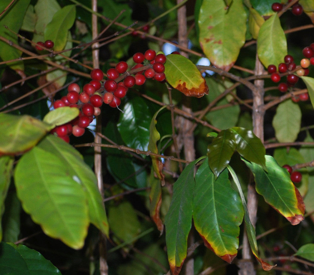Catura Coffee Seeds (Coffea catura) + FREE Bonus 6 Variety Seed Pack - a $30 Value!