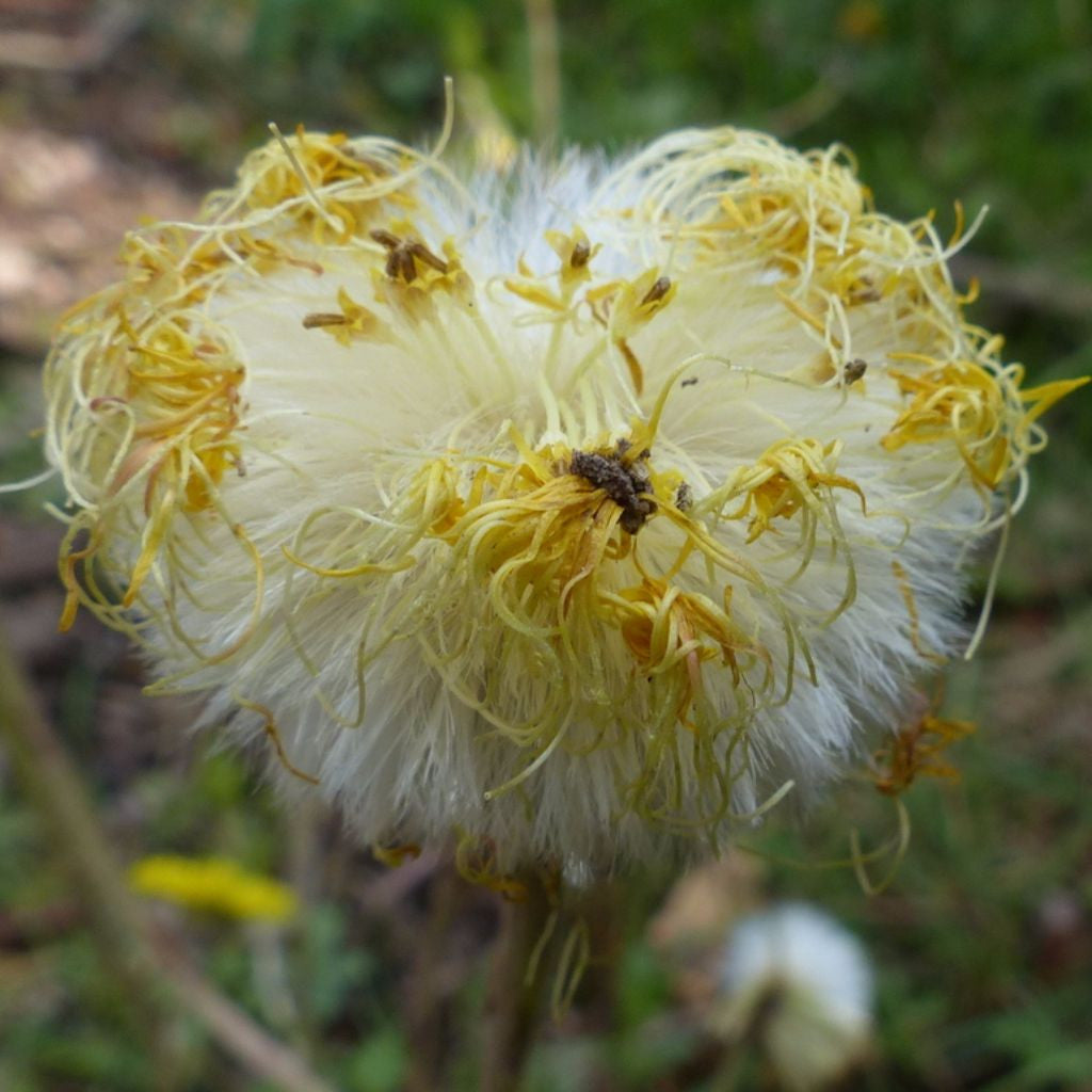 Coltsfoot Seeds (Tussilago farfara)