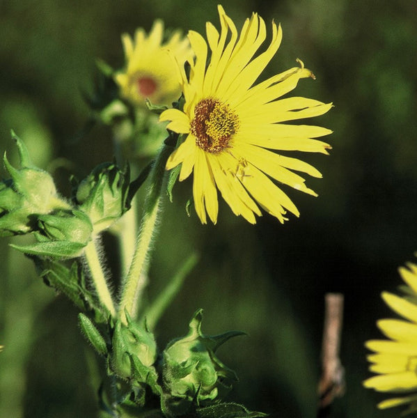 Compass Plant Seeds (Silphium laciniatum) + FREE Bonus 6 Variety Seed Pack - a $30 Value!