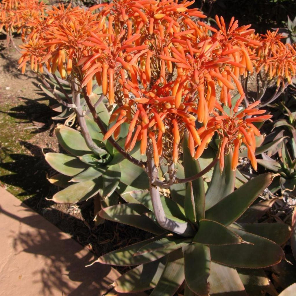 Coral Aloe Seeds (Aloe striata) + FREE Bonus 6 Variety Seed Pack - a $30 Value!