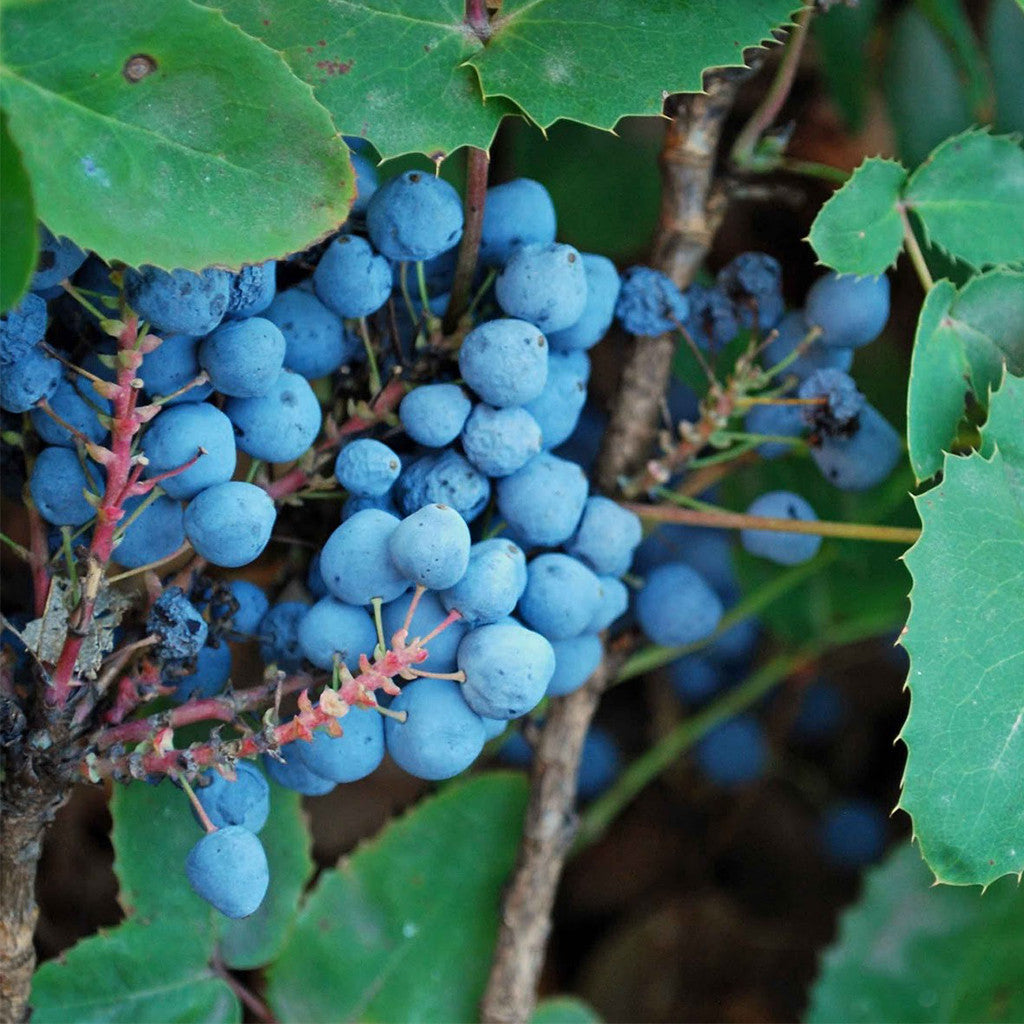 Creeping Oregon Grape Seeds (Mahonia repens) + FREE Bonus 6 Variety Seed Pack - a $30 Value!