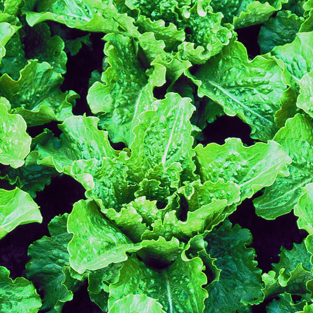 Crisp Mint Romaine Lettuce Seeds (Lactuca sativa) + FREE Bonus 6 Variety Seed Pack - a $30 Value!