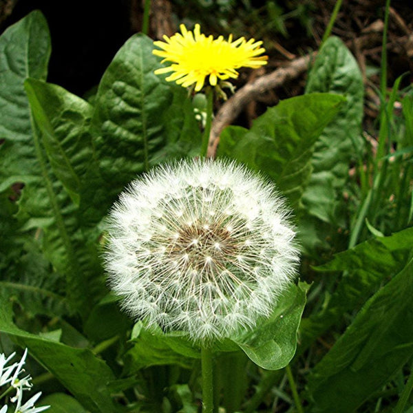 Dandelion Seeds (Taraxacum officinale)